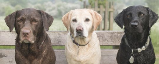 A Dog S Color Could Impact Longevity Increase Health Issues Dogs Dog Remedies Labrador Retriever