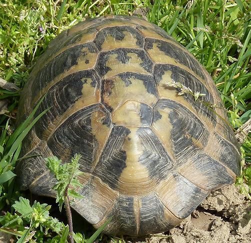 griechische landschildkröten  landschildkröten
