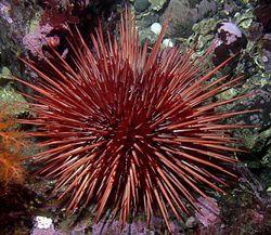 Los equinoideos (Echinoidea), comúnmente conocidos como erizos de mar, son una clase del filo Equinodermos. Son de forma globosa o discoidal (dólares de arena), carecen de brazos y tienen un esqueleto interno, cubierto sólo por la epidermis, constituido por numerosas placas calcáreas unidas entre sí rígidamente formando un caparazón, en las que se articulan las púas móviles.