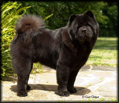 Black Smooth Chow Chow Zac Chow Chow Black Chow Chow