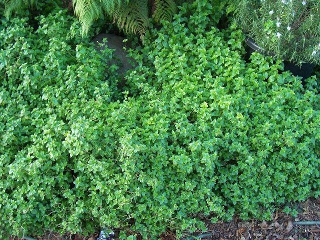 mentha australis 30cmx3m spreading, like damp