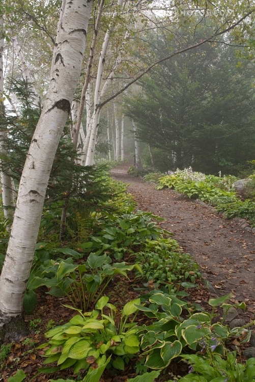 path in the birch - photo #31