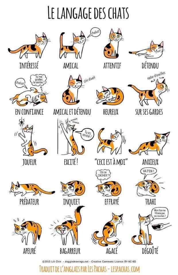 Le langage du chat – Abyssins d'Abystyle – Tortue Sur le dos