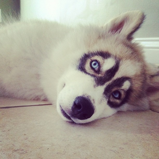 Best Husky Images On Pinterest Puppies Adorable Animals And - Guy quits his job to go on epic adventures with his husky