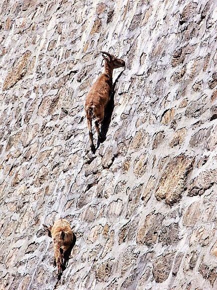 Clubje berggeiten graast op 50 meter hoge dam. (video)