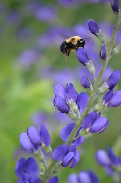 Prairie Moon Nursery :: Seeds :: Baptisia australis (Blue Wild Indigo)
