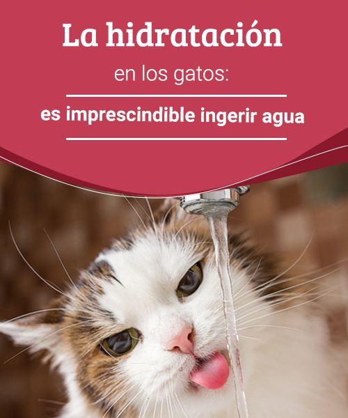 La hidratación en los gatos: es imprescindible ingerir agua  La hidratación en los gatos es muy importante. Lee en este artículo todo lo que necesitas para que tu gato se mantenga hidratado y saludable. #hidratación #gatos #salud