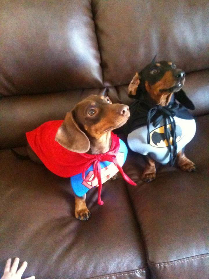 supercutes.: Super Dogs, Animals, Weenie, Costume, Superdog, Doxies, Super Heroes, Superhero