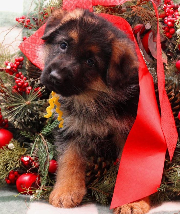 German Shepherd dog breeder requires breeding high quality German Shepherds from some of the top rated German Shepherds in Germany.
