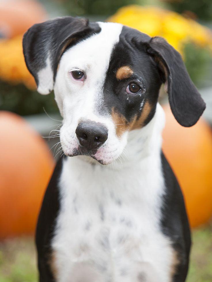 Adopt FRANKIE on Petfinder Bluetick coonhound, Animals