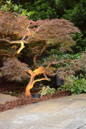 Pruning by Design project | nicely pruned and layered Japanese Maple