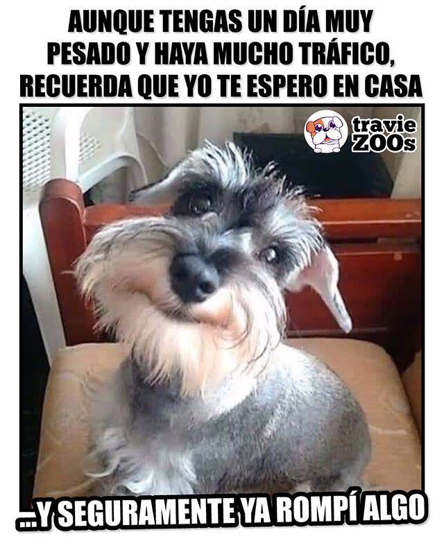 Aqui Te Espero Con Mis Travesuras Humano Your Dog Dogs Dog Love