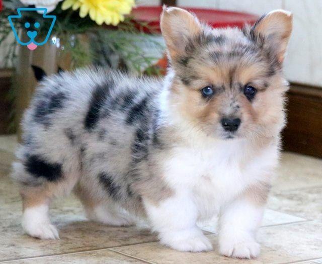 Siberian Husky Puppies For Sale Charlotte Nc
