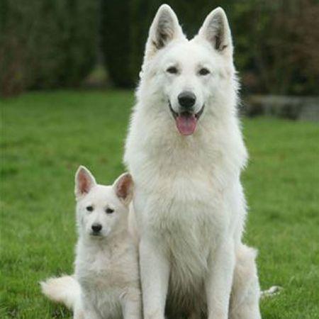 Black Swiss Shepherd Dog