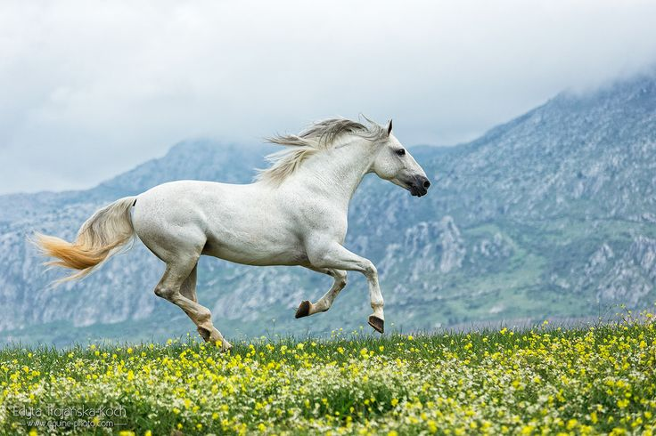 Andalusian stallion galloping in the mountains