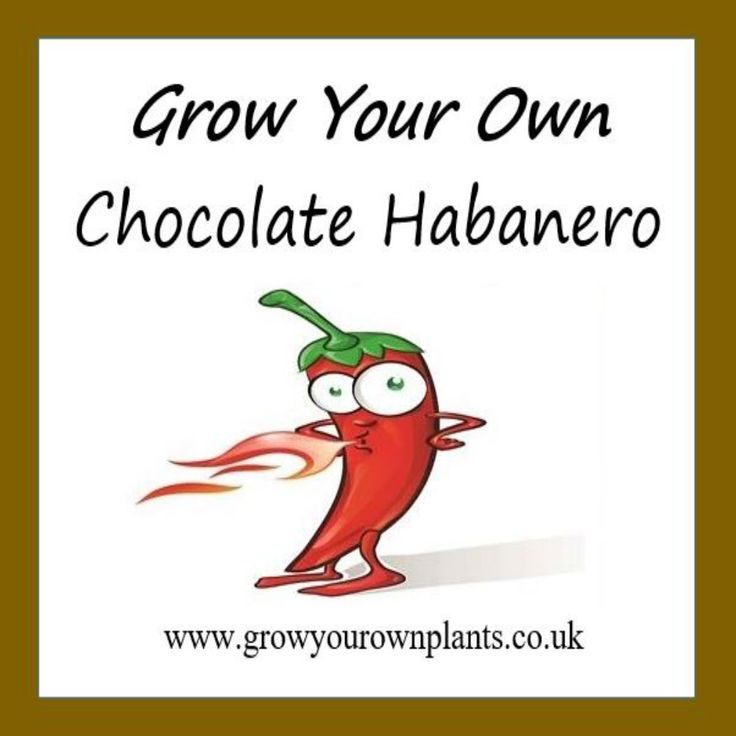 Each plant kit contains all you need to grow your own Chocolate Habanero Hot Chilli plant kit from seed