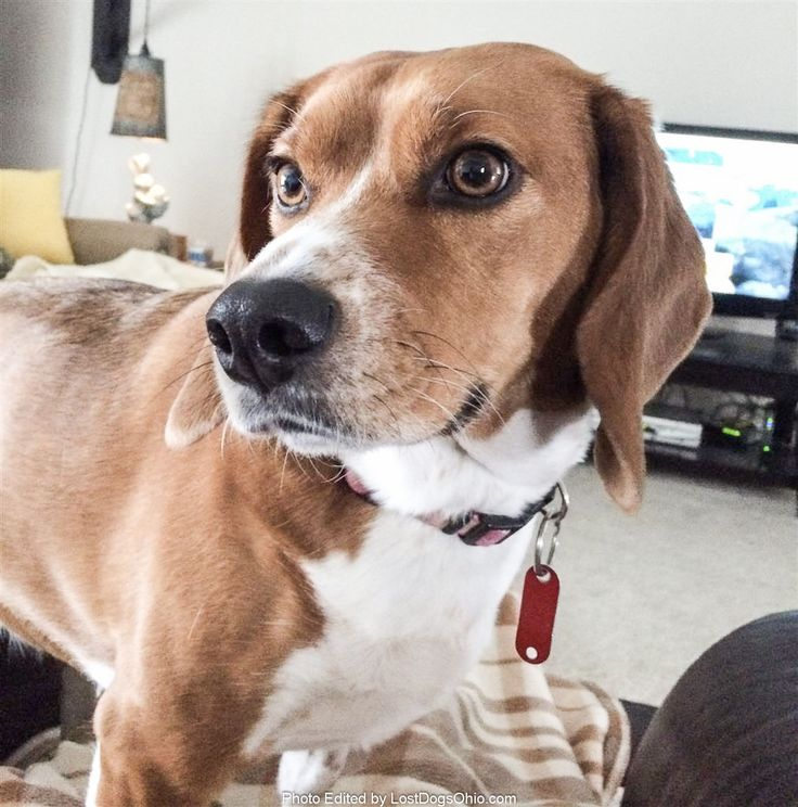 """Lost Dog - Female - Shalersville, Ravenna, OH, USA 44266  #LOSTDOG #Shilo """"Shy"""" #Shalersville,Ravenna (Polly Rd, Rt 303, Price/Weaver Rd Area)  #OH 44266 #Portage Co. , #Lost #Dog 05-28-2017!, Female #Beagle Mix Red / White/ DO NOT CHASE Shy/Timid/Fearful Lost in Shalersville Red Fox area  More Info, Photos and to Contact: http://www.helpinglostpets.com/petdetail/?id=1721397  To see this pet's location on the HelpingLostPets Map: http://www.helpinglostpets.com/v2/?pid=1721397  Let's get…"""