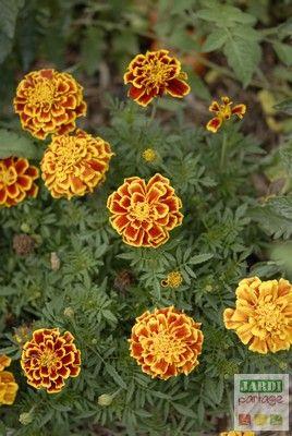 Arrêtons ces potagers constitués d'alignements monotones de poireaux, de tomates, de carottes..... En plus d'être plus sensibles aux maladies, les plantes cultivées de cette façon ne sont pas présentées sous leur meilleur jour. Au contraire ! Favorisons les mélanges, les associations, la diversité et introduisons des plantes fleuries au potager ! Pourquoi ? Parce qu'elles sont bien utiles pour attirer les insectes auxiliaires. En voici 4 INDISPENSABLES…