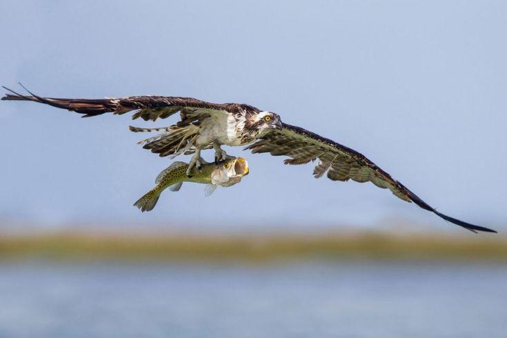 Потрясающие фотографии птиц с фотоконкурса Скопа после рыбалки. (Фото Thomas Chadwick | Audubon Photography Awards):