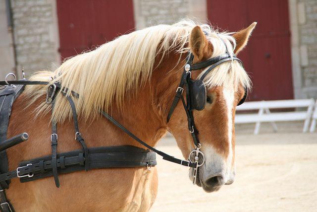 Vente de chevaux de Trait Ardennais attelés | Flickr - Photo Sharing!