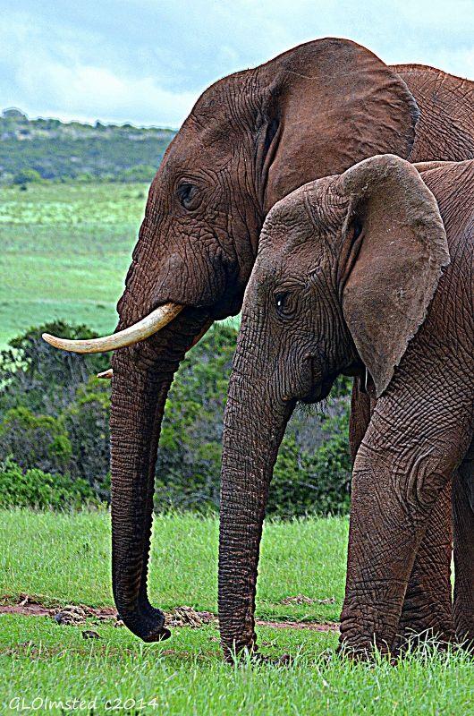 Elephants at Addo Elephant National Park #SAdvrstyEcoTour http://geogypsytraveler.com/2014/04/02/return-visit-addo-elephant-national-park/