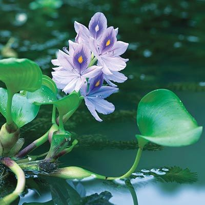 Water Hyacynth (Eichhornia crassipes) is a free-floating pond plant, that sends a 9-inch spike of lavender flowers up from a rosette of leathery, glossy green leaves. Perennial in Zones 9–11; often grown in colder climates as an annual.   Photo: Hiroshi Tonoshiro/Getty Images   thisoldhouse.com