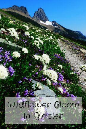 Wildflower Bloom In Glacier National Park, Montana