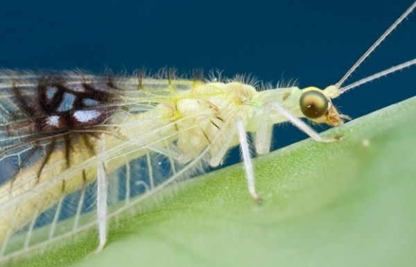 lacewings are beautiful!