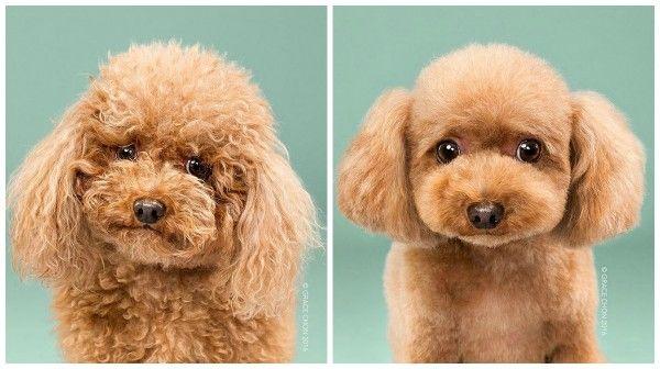 A fotógrafa de animais Grace Chon registrou vários cachorros antes e depois de passarem pela tosa de um especialista. Confira o fofíssimo resultado!
