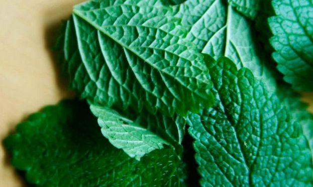 Também conhecida como Melissa, planta medicinal pode ser usada como tempero. A erva-cidreira (Melissa officinalis), da família da hortelã, é muito usada em nossa cultura popular para vários fins me...
