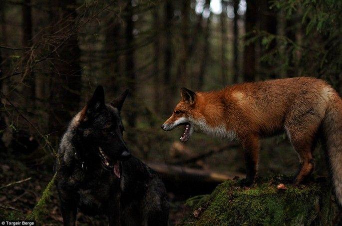 le chien et le renard jouent rox et rouky en vrai 5   Le chien et le renard ou Rox et Rouky pour de vrai   Torgeir Berge renard photo image ...