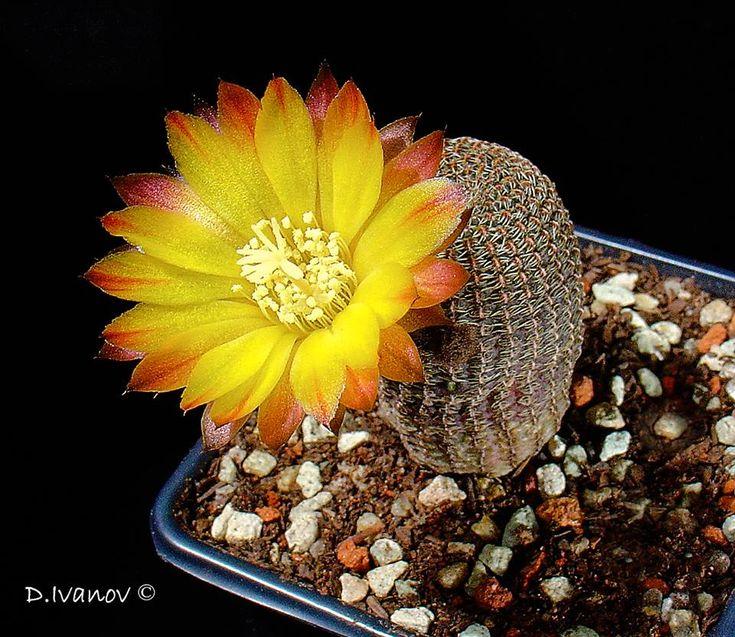 Lobivia famatimensis (Reicheocactus pseudoreicheanus)