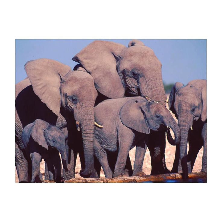 The African elephant is the largest animal walking the Earth. Their herds wander through 37 countries in Africa. #elephant #iloveelephants #africanelephant #asianelephant #elephantherd #inthewild #sharelove #stopppoaching #loves_world #loveanimal #animalworld #cuteelephant #elephantneedsus