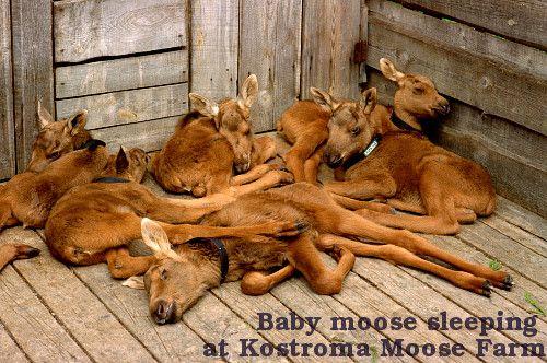 Moose Pile! Baby moose sleeping at the Kostroma Moose Farm