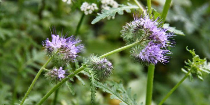 HONNINGURT FORBEDRER JORDEN OG GØR BIERNE GLADE - Phacelia - good for the soil, good for bees