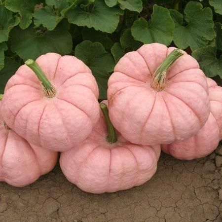 Wow...pink pumpkins!..i want to grow some! :D Why yes, haven't you heard of pinkpkins?