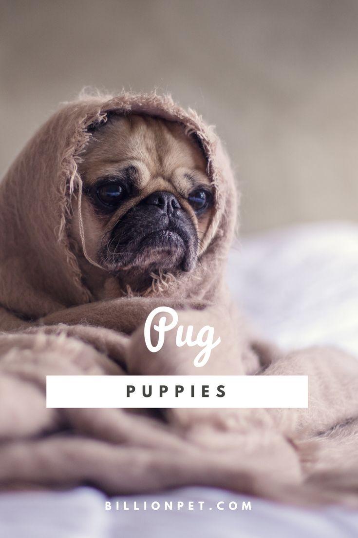 pug puppies #pug #puppies