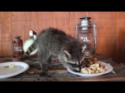 Do Raccoons make good pets? Yes or No ? - YouTube