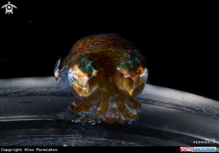 Bobtail squid  in Panglao - Philippines