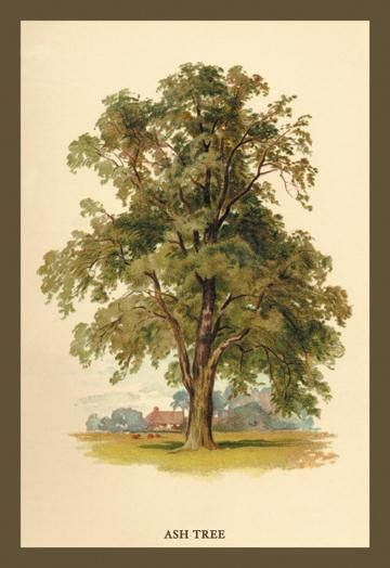 Ash Tree 12x18 Giclee on canvas
