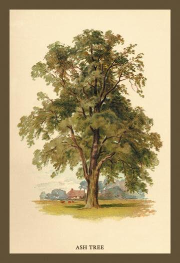 Ash Tree 20x30 poster