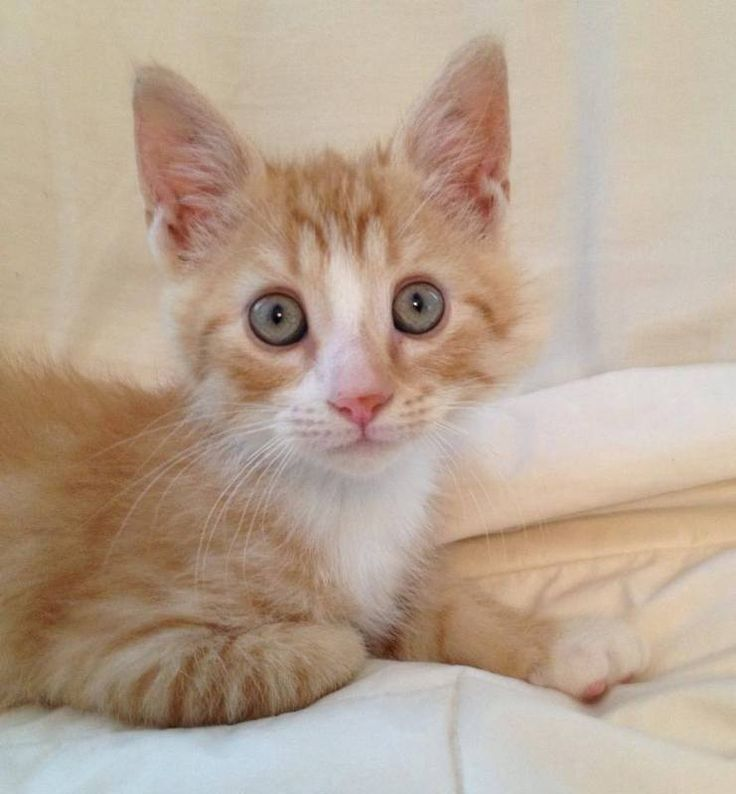Himalayan cat rescue wilmington nc
