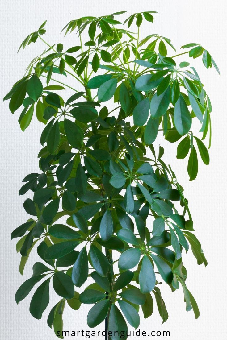 Why Is My Umbrella Plant Schefflera Dropping Leaves Smart Garden Guide Umbrella Plant Plants House Plant Care