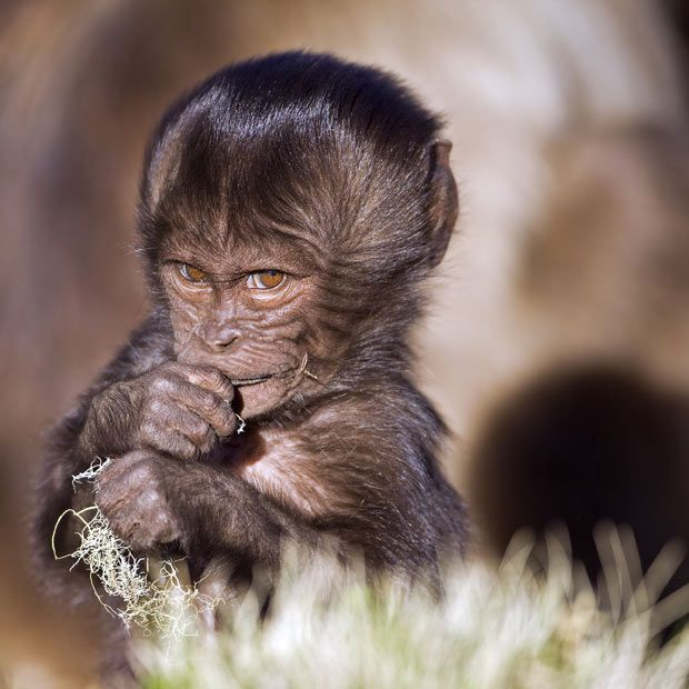 A gelada baboon (Theropithecus gelada) infant playing with dried grass, Simien Mountains National Park, Ethiopia