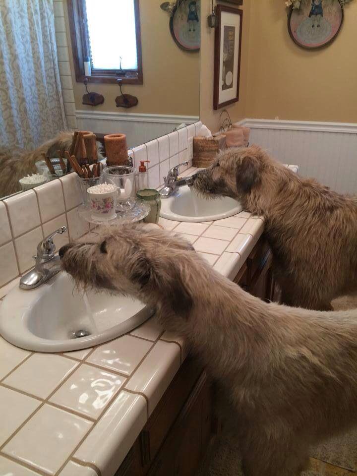 Canadian IW Rescue #IrishWolfhound