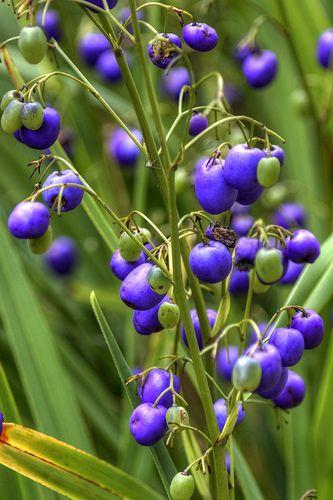Tasmanian Flax Lily-(Dianella tasmanica).