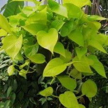 Tanaman Sirih Gading Kuning (Neon Pothos)