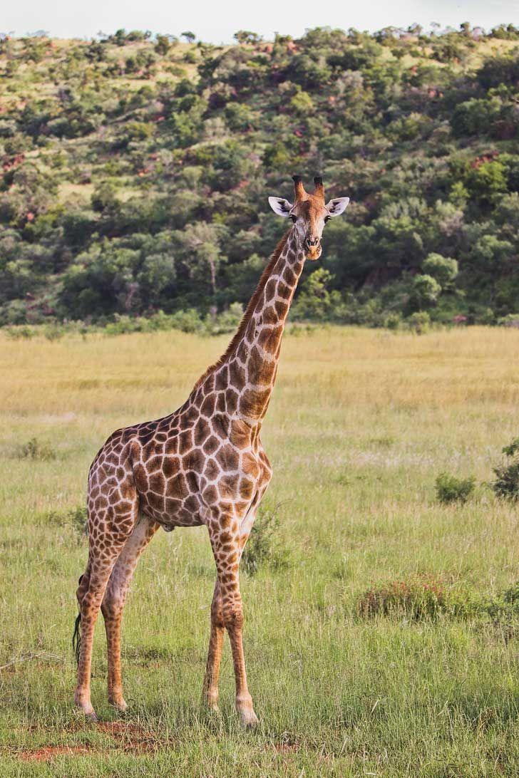 Pilanesberg National Park Safari - an Amazing Day Trip from Johannesburg South Africa // localadventurer.com