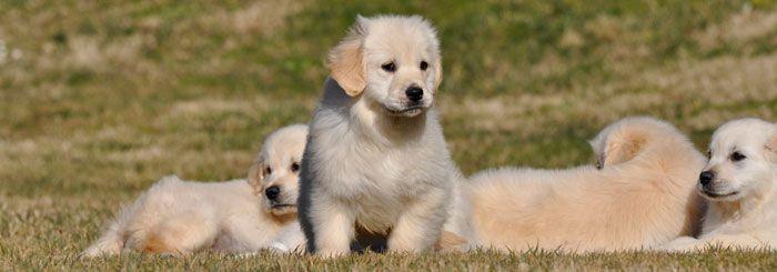 El #GoldenRetriever es una #raza que destaca por su temperamento estable y muy gentil. Su #pelaje suave y de tonos dorados, su mirada infantil y su devoción por el juego le ha convertido en una de las razas de perros más populares del mundo. #cachorros #puppies #dogs #perros