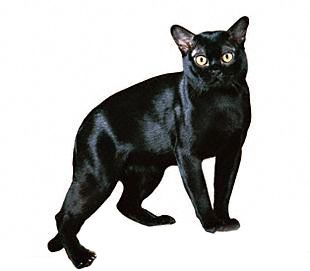 The Bombay Cat – Looks Somewhat Like a Miniature Panther